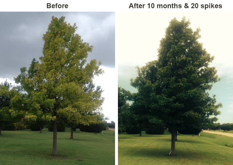 Photo of Before and After Tree Fertilization